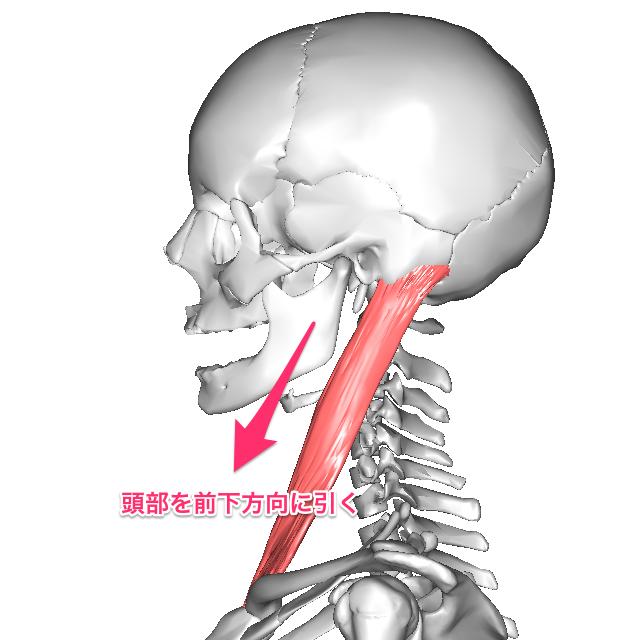 寝たきり老人さんの身体に起きていること ④ 呼吸運動の抑制3 胸鎖乳突筋の作用