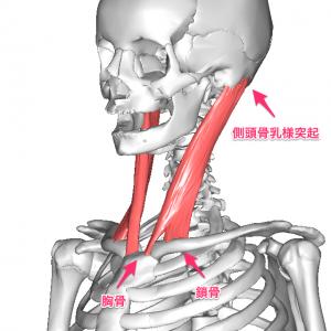 胸鎖乳突筋解剖図