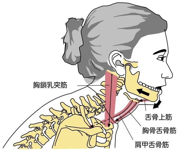 寝たきり老人さんの身体に起きていること ⑤ 呼吸運動の抑制4 寝たきり老人さんの下顎